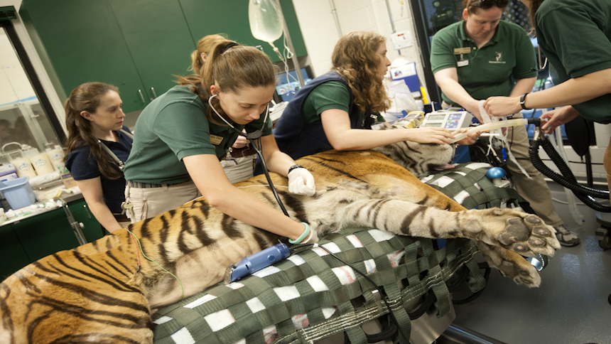 Tiger patient being checked by veterinarians