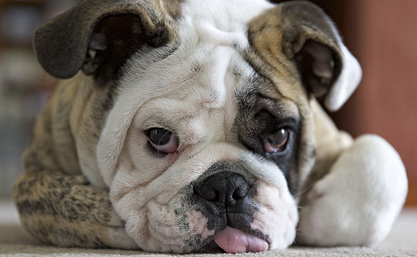 english bulldog's face