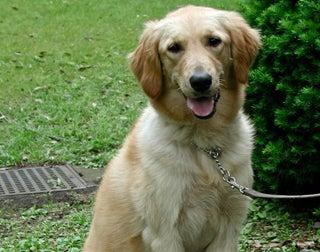 When to neuter a puppy golden retriever
