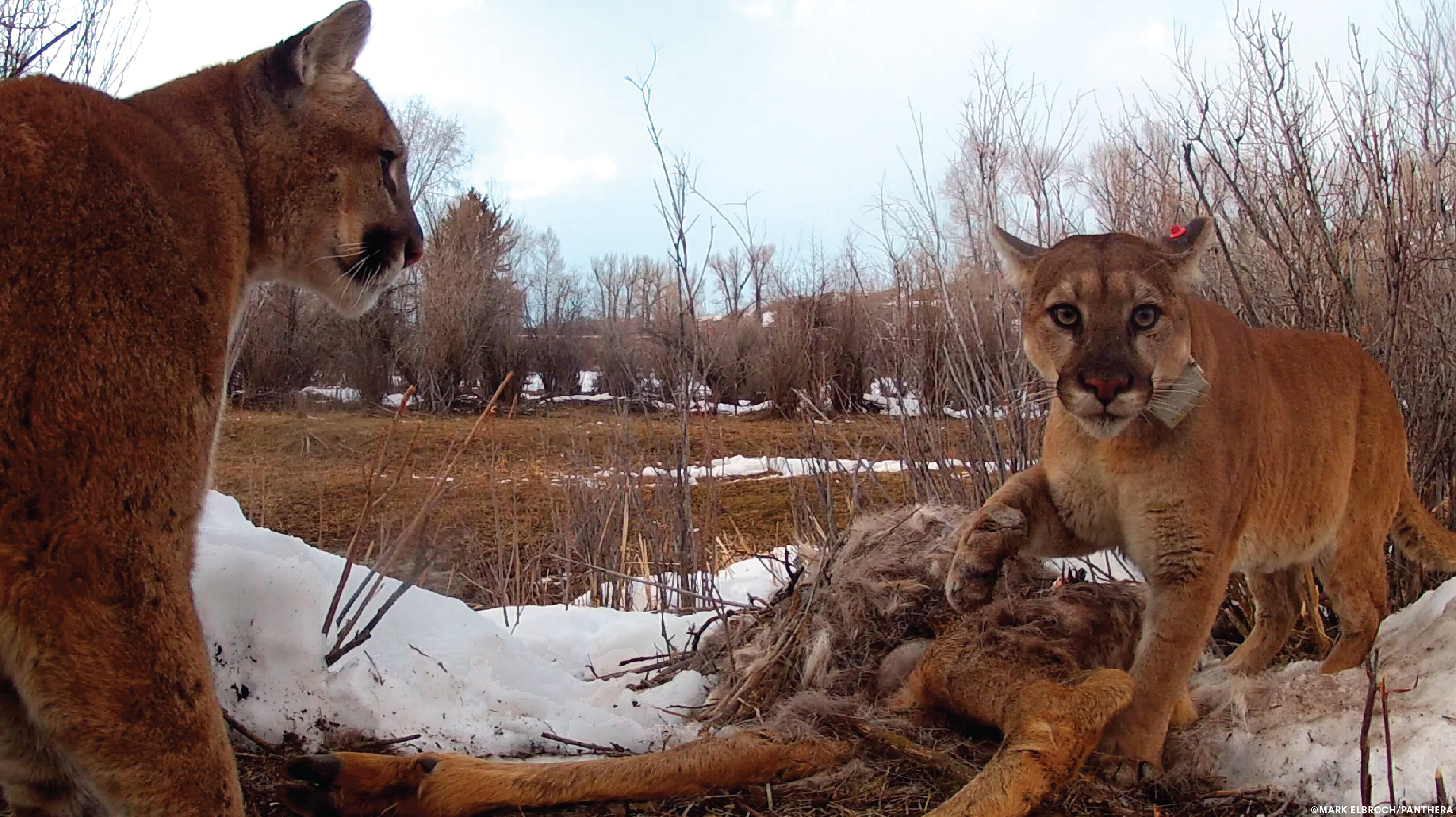 Pumas Are More Social Than Previously Thought | UC Davis