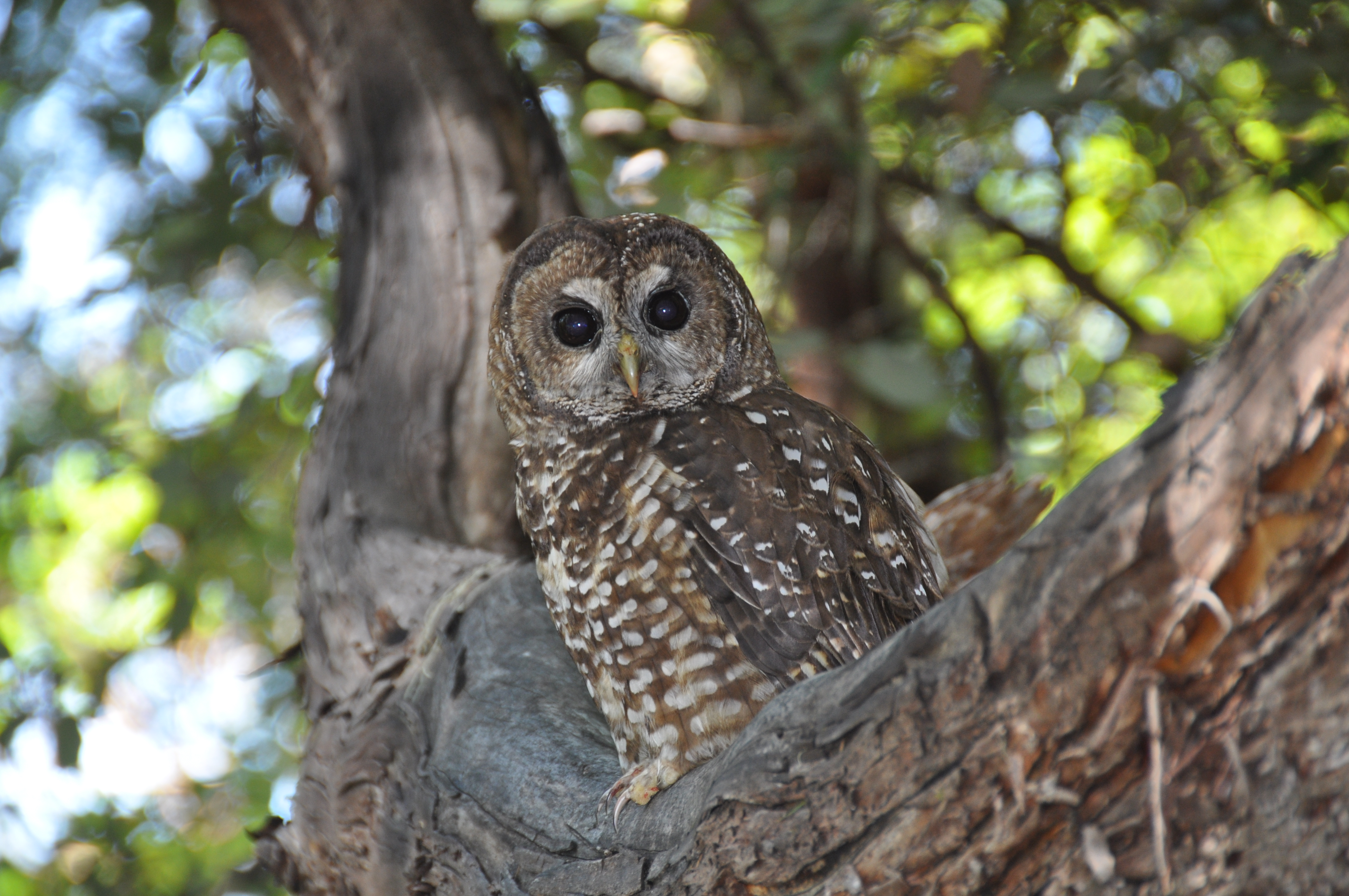 Marijuana Farms Expose Spotted Owls to Rat Poison in