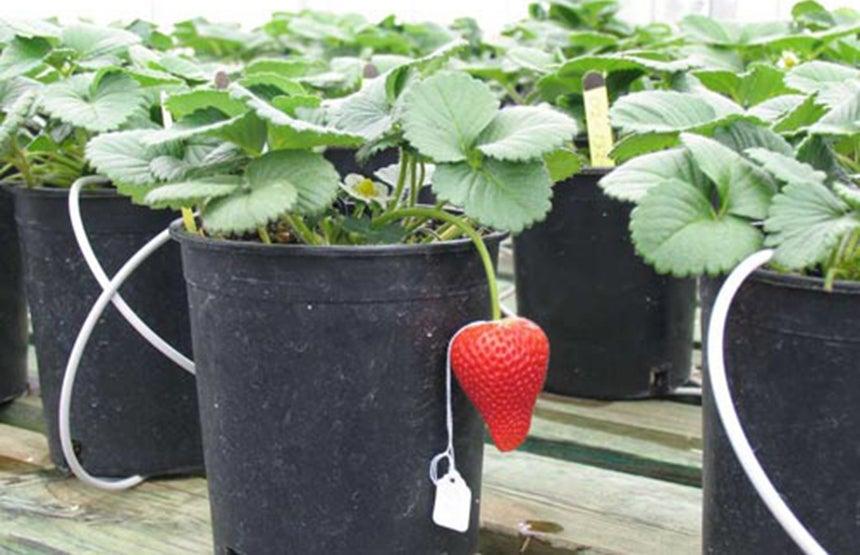 public strawberry breeding program backgrounder