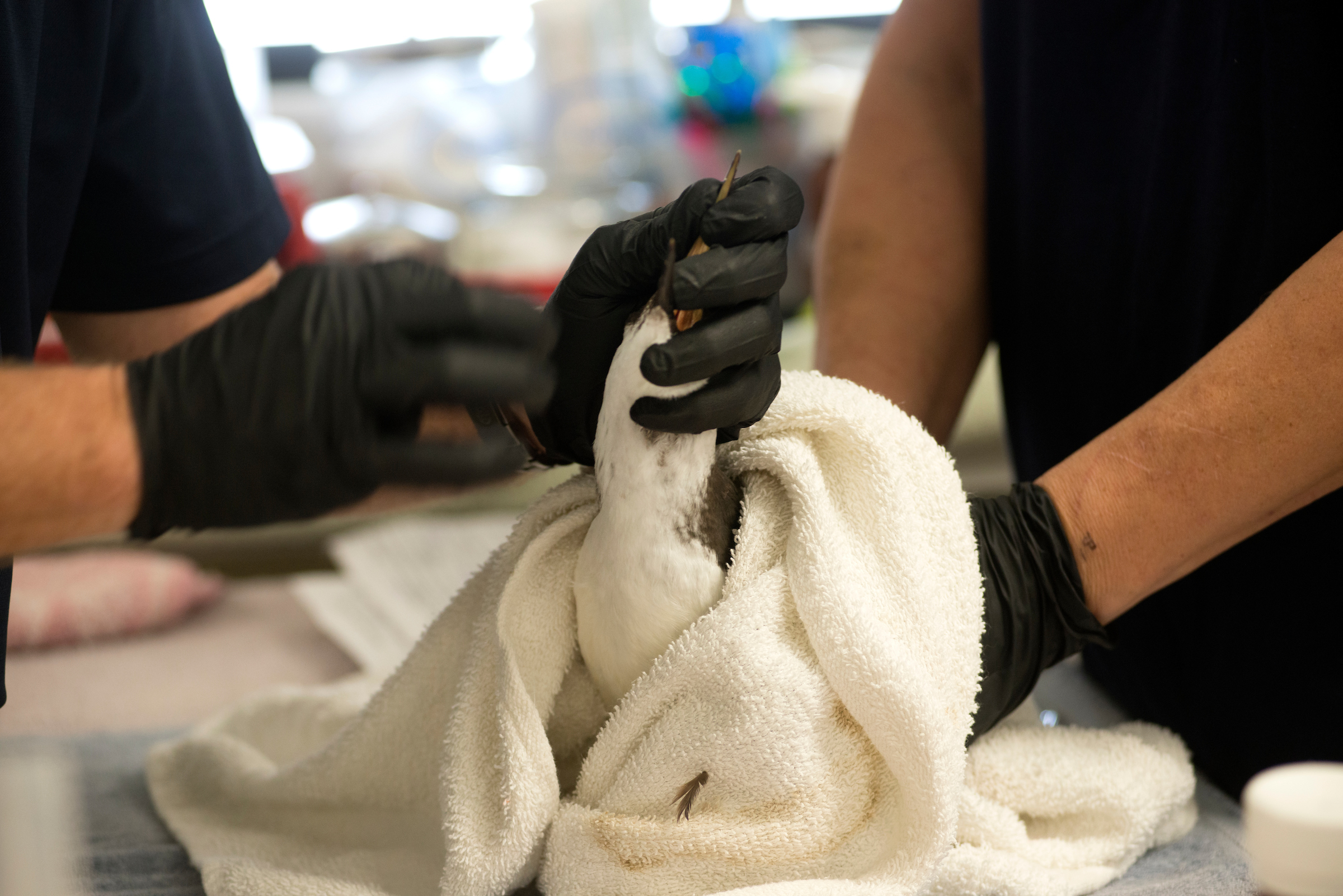 A common murre seabird is treated by wildlife rehabilitation specialists in California