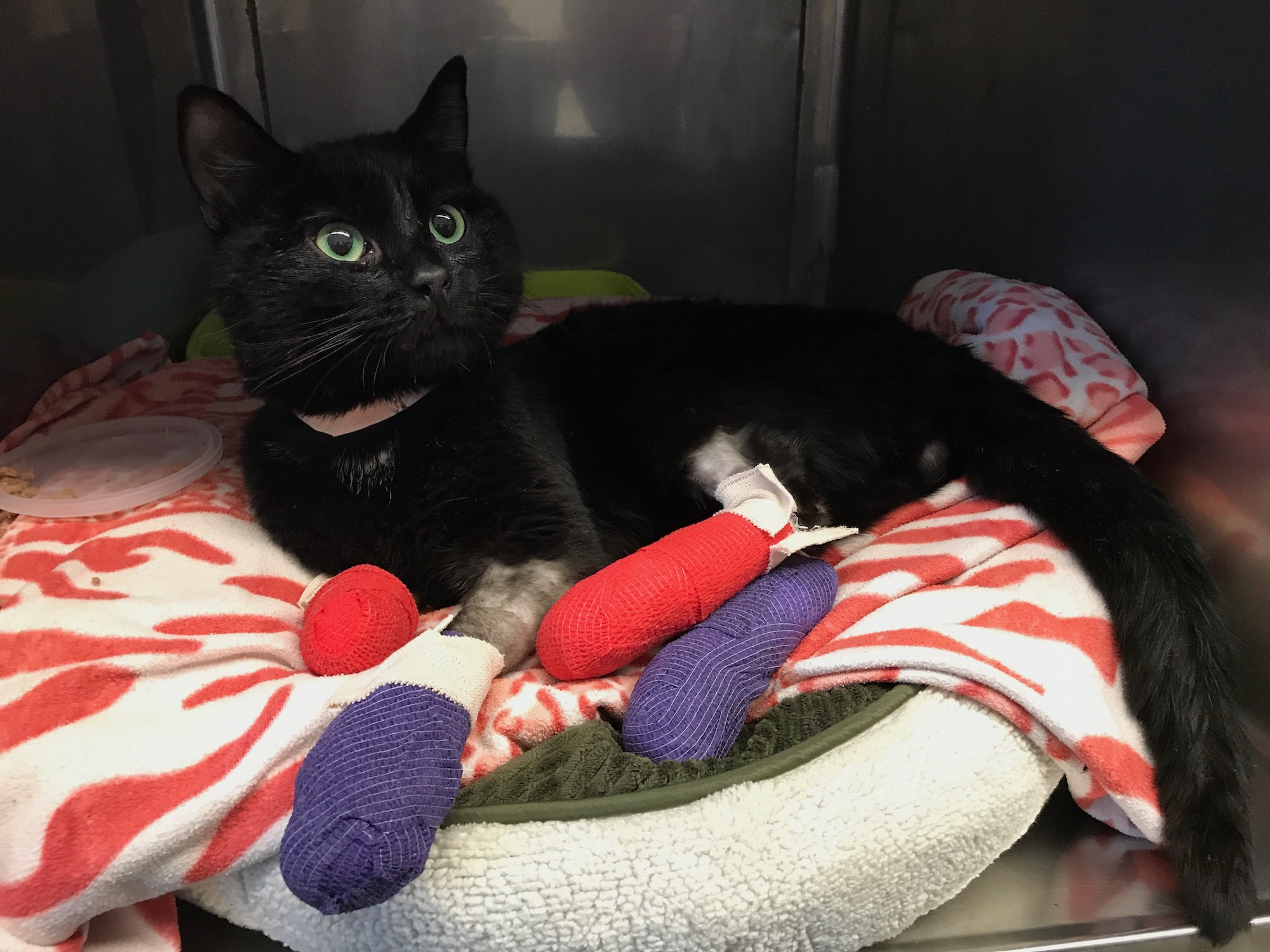 Cat receives treatment at UC Davis after suffering injuries in the Camp Fire.