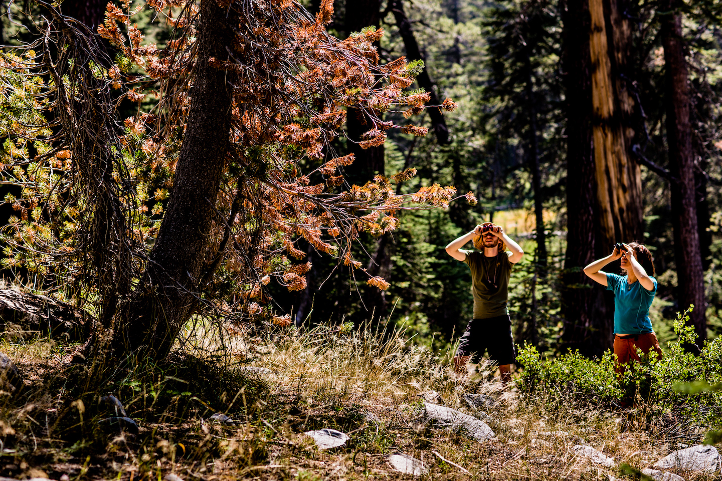 Two researchers survey trees through binoculars in Sequoia and Kings Canyon National Park.