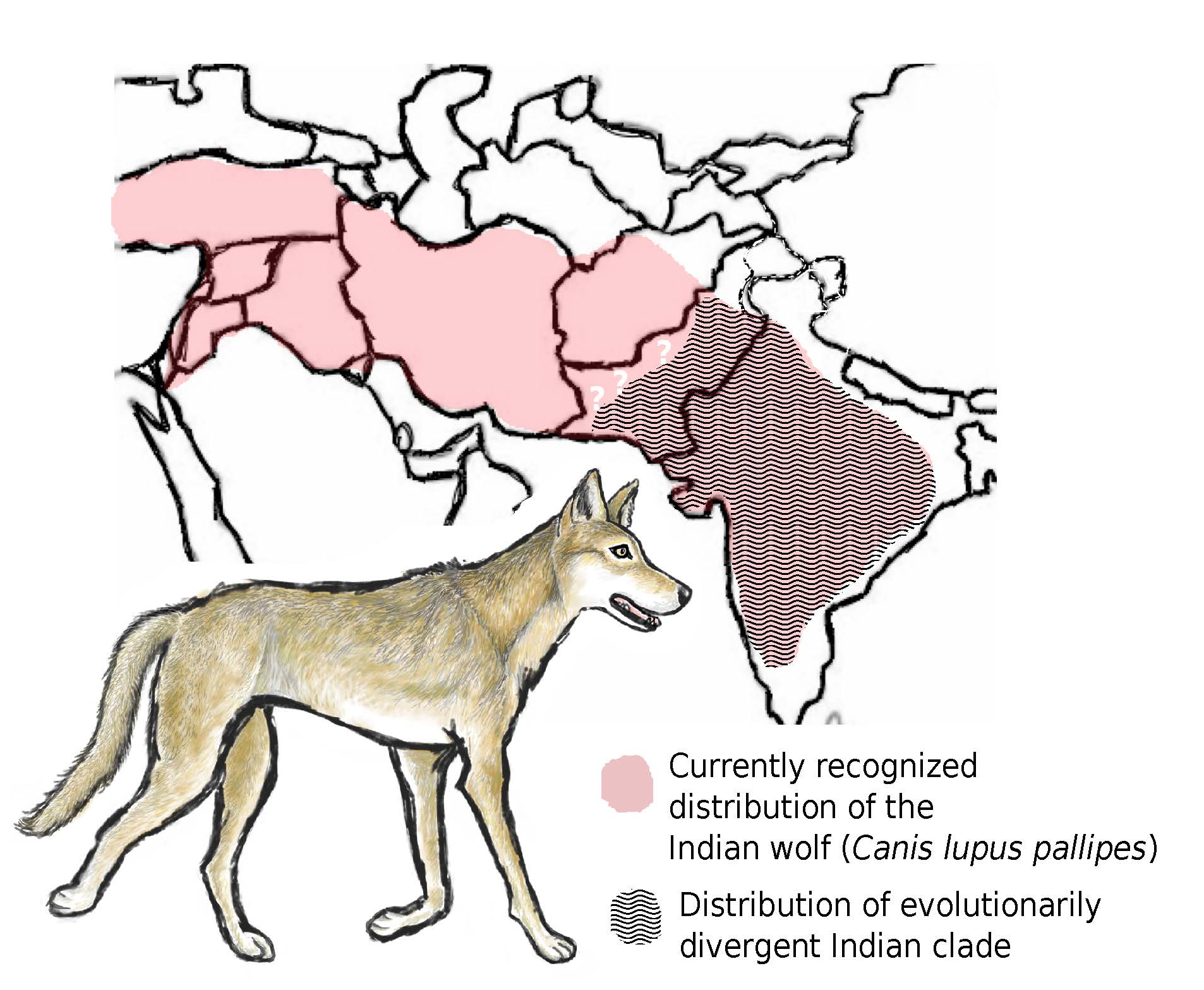 Illustration of Indian wolf with a pink and white map showing its recognized range versus what new scientific evidence indicates is its smaller range.
