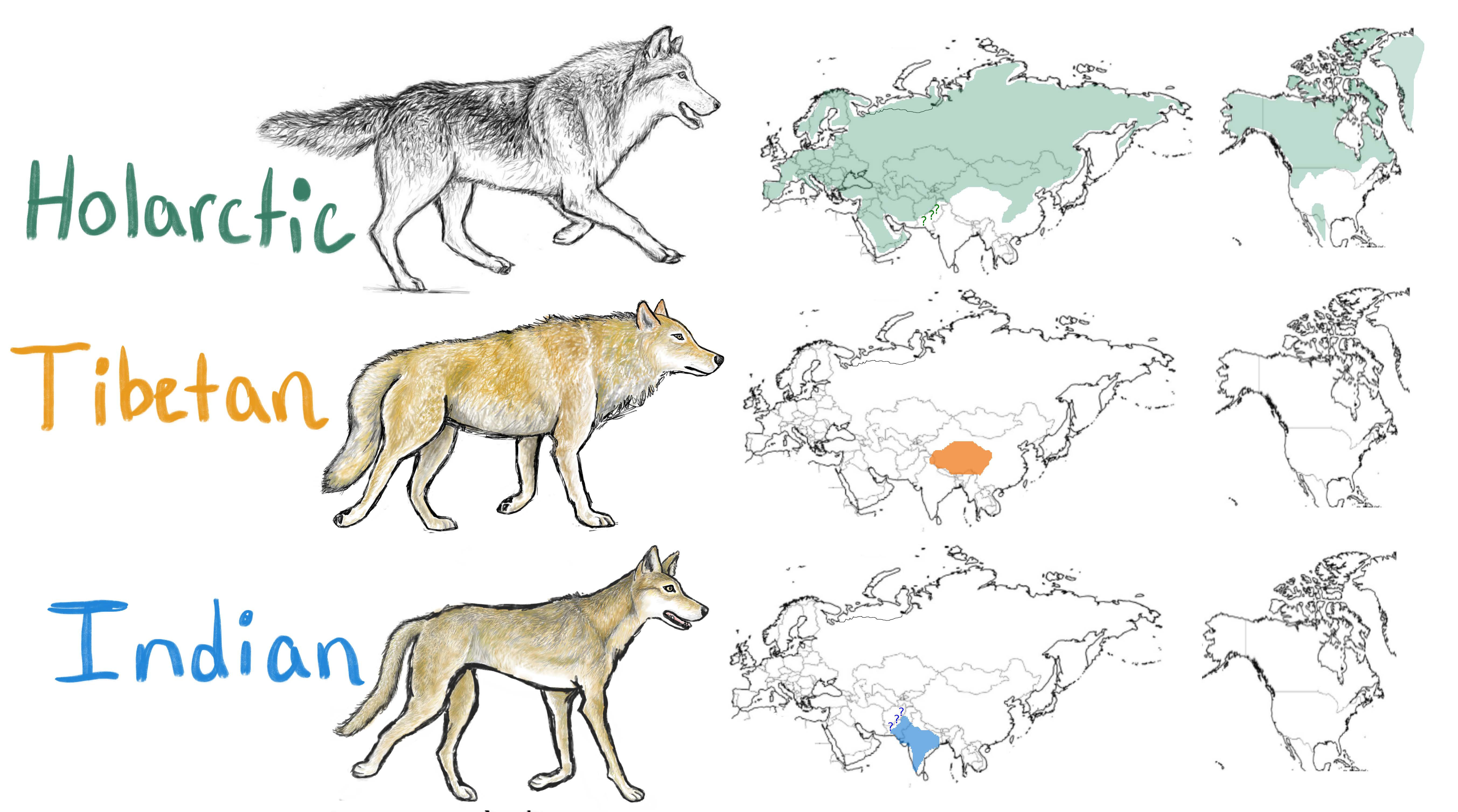 Illustration of Holarctic, Tibetan and Indian wolves and their ranges on maps in the northern hemisphere