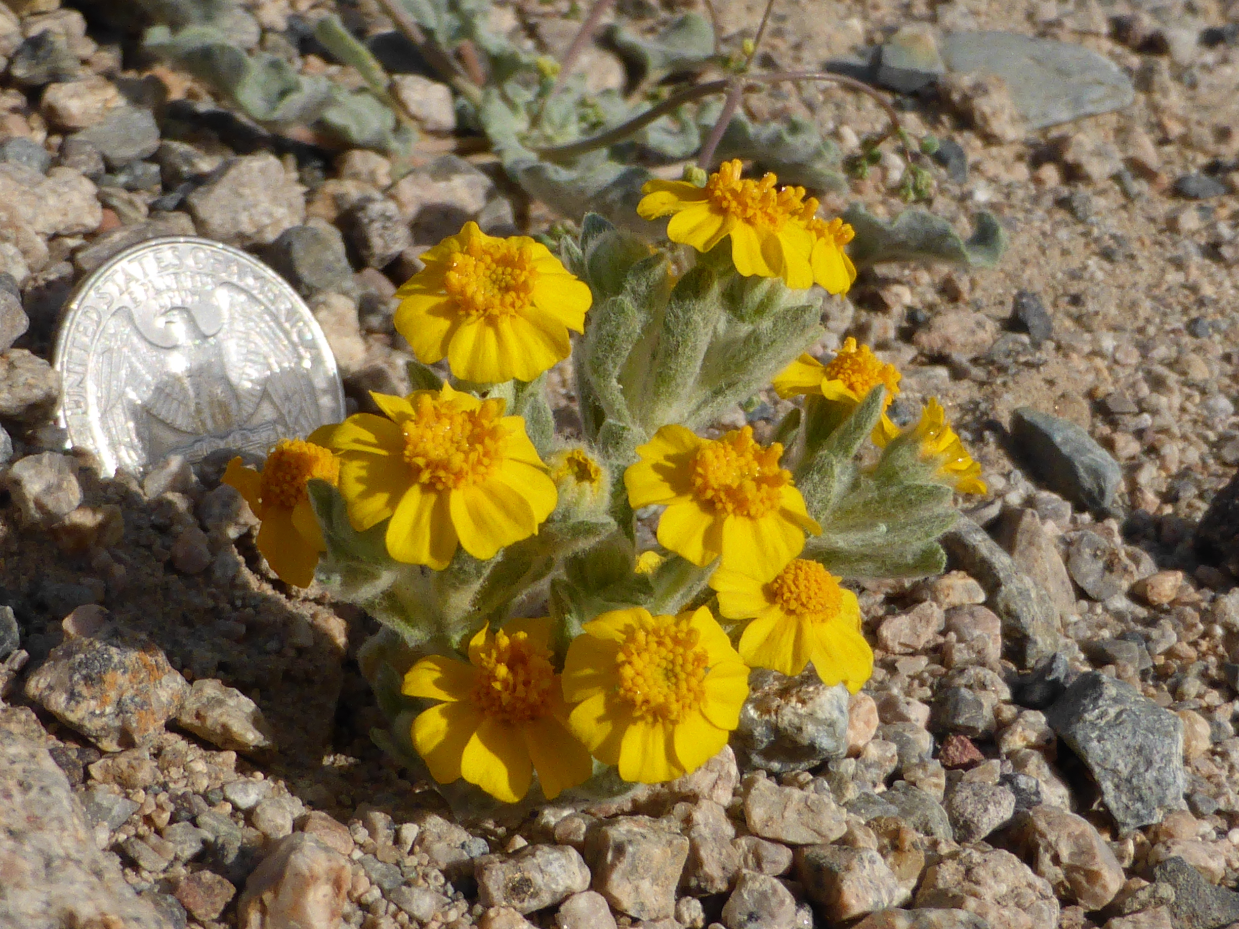 A closeup of a small yellow flower, the common Wallace's woolly daisy, nest to a quarter in Mojave Desert