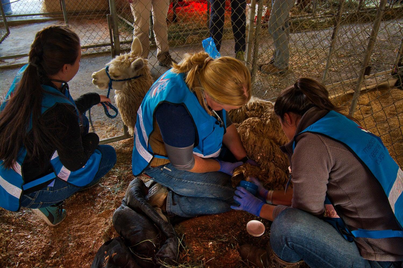 UC Davis veterinary team care for alpaca with burns.