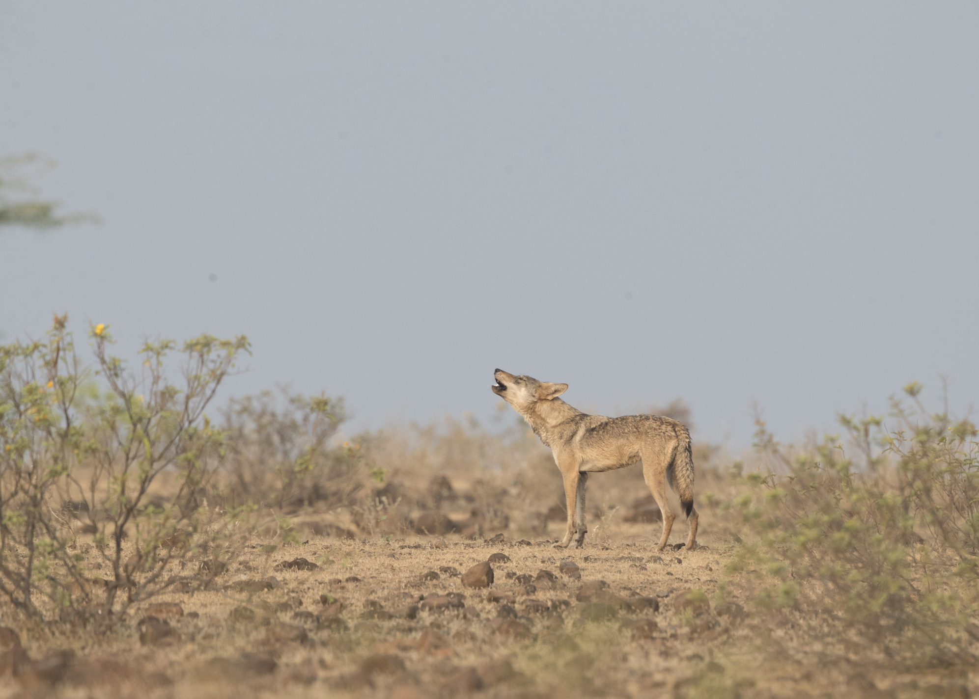An Indian wolf howls in a grassland