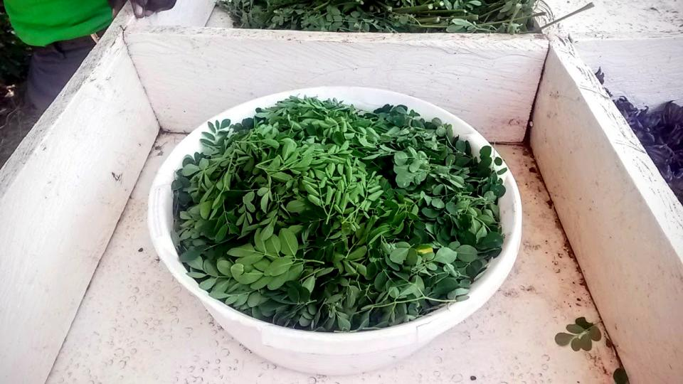 bowl of harvested Moringa