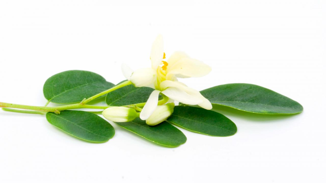 Moringa leaves and flower