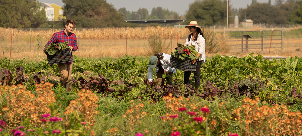 two students working in a field harvesting produce on the student farm.