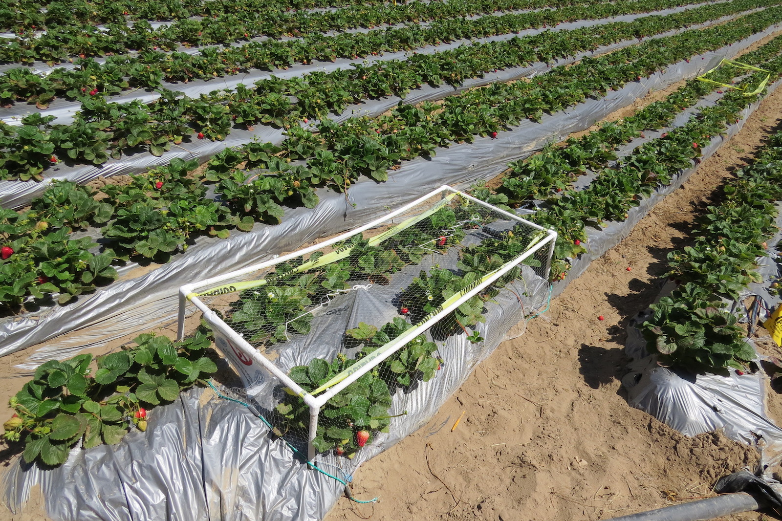 Cages in a strawberry field as part of an experiment