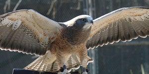 Raptor in flight.