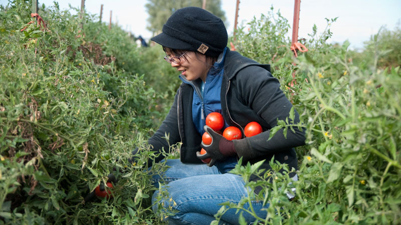 Students harvests tomatoes.