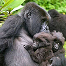 The gorilla Isaro and her two twins.