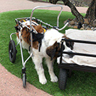 Dog with wheelchair.