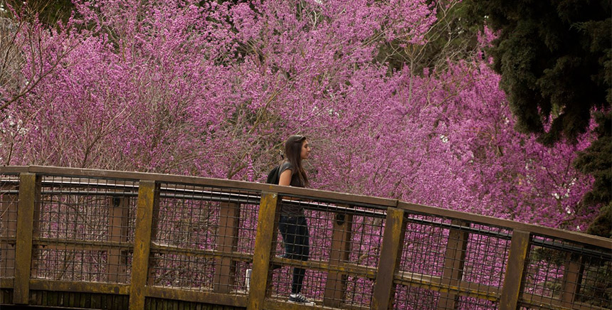 A woman walks across a bridge with violet flowers behind her.