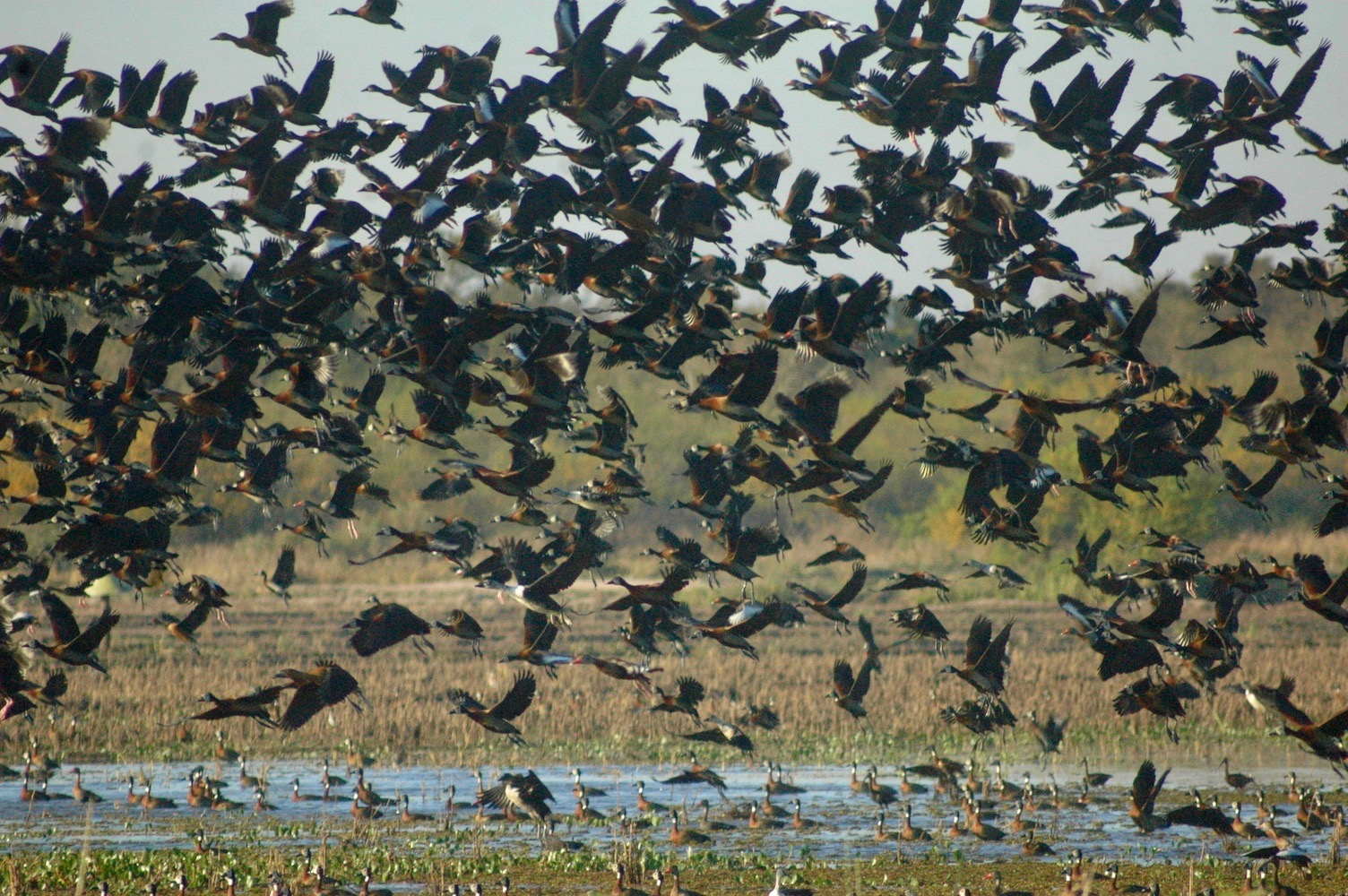 waterfowl fly over Argentina wetland