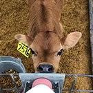 A calf drinks milk