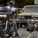 A motorcyclist looks over at turkeys.