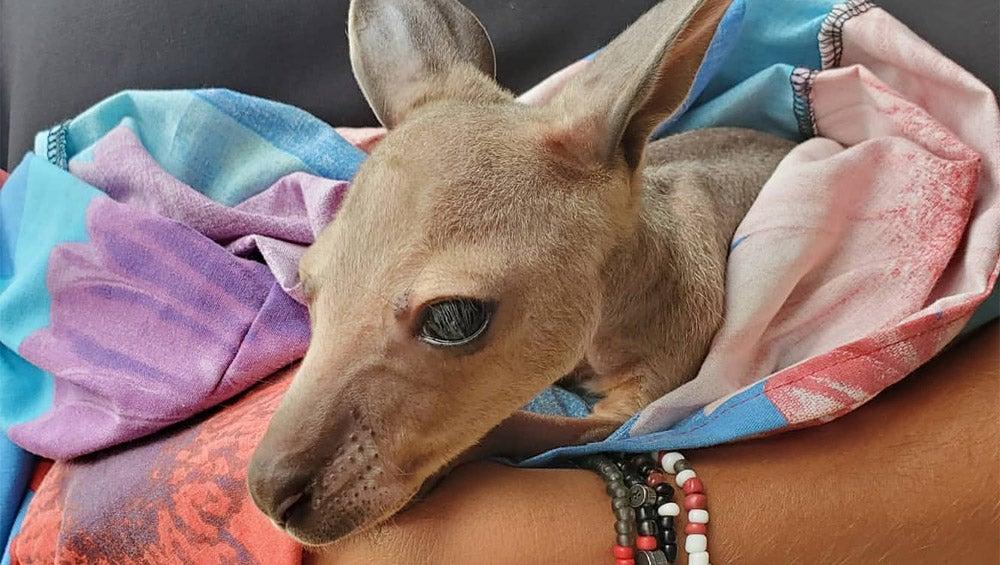 Kangaroo wrapped in blanket