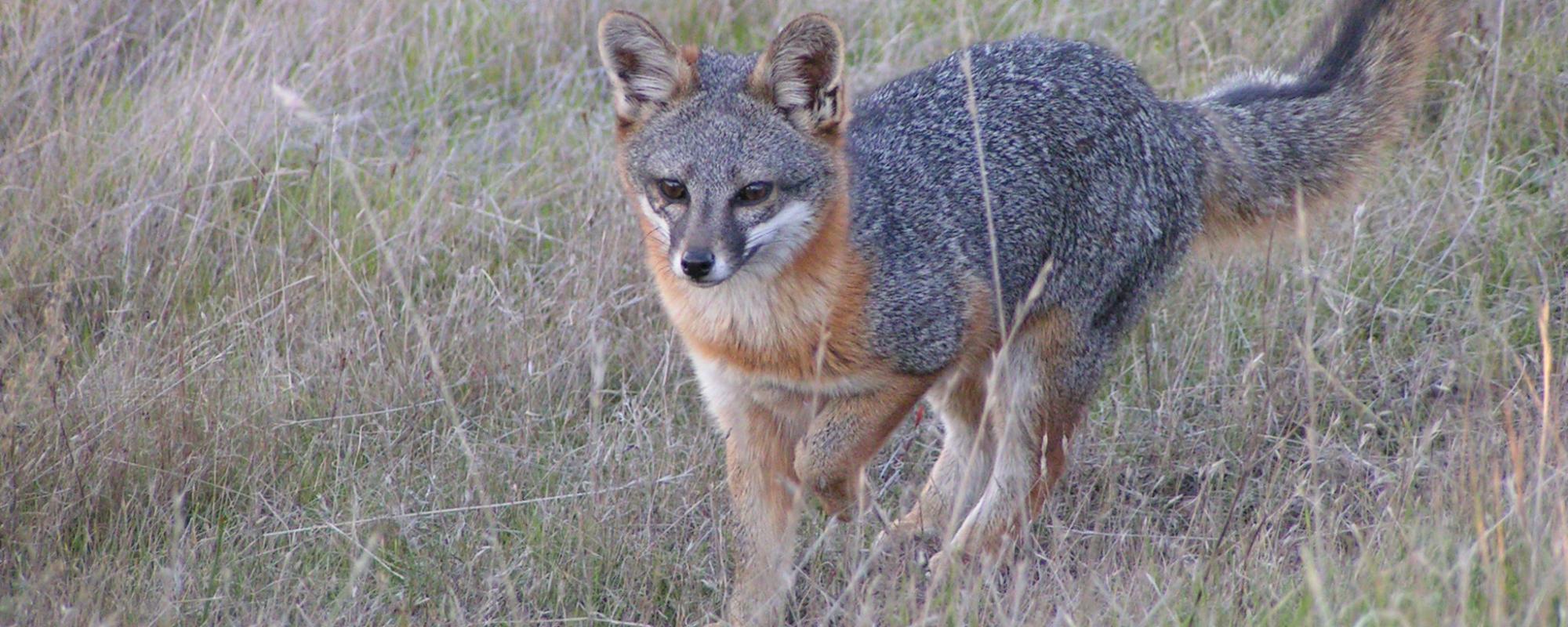 Male Santa Catalina Island fox