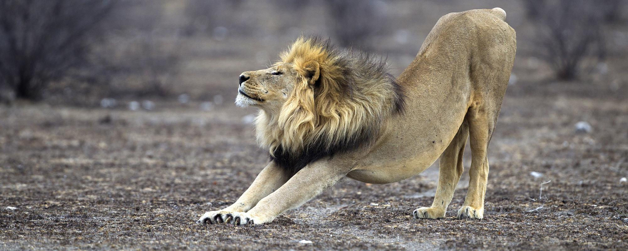 African lion stretching