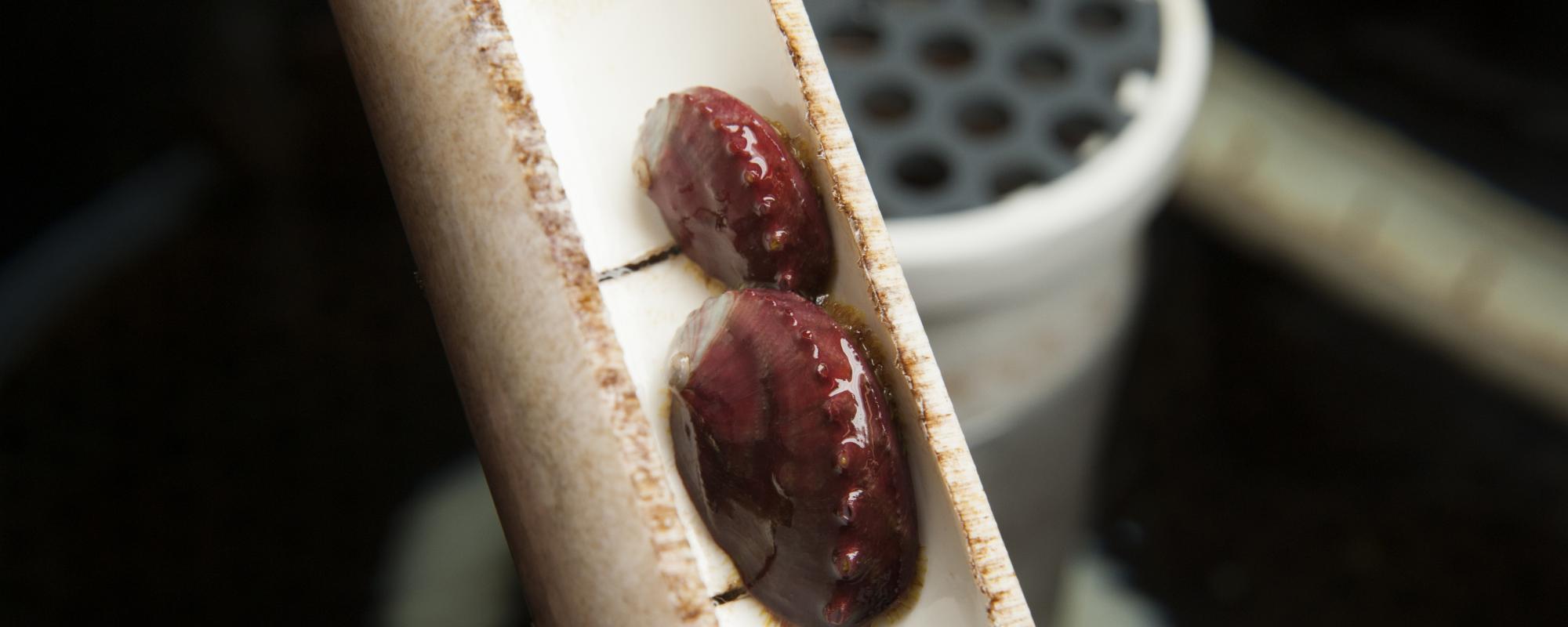 Juvenile white abalone bred at UC Davis Bodega Marine Laboratory