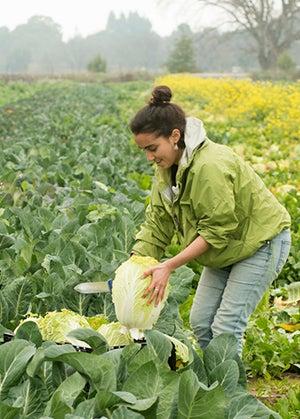 A woman picks cabbage