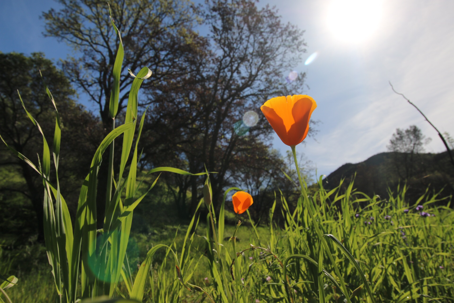 California poppy in field