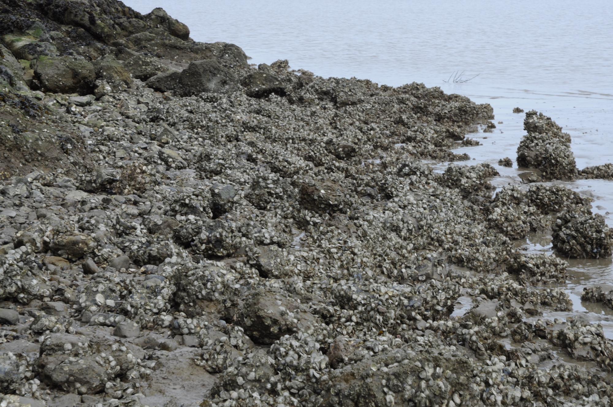 Oysters on China Camp shoreline, San Francisco Bay