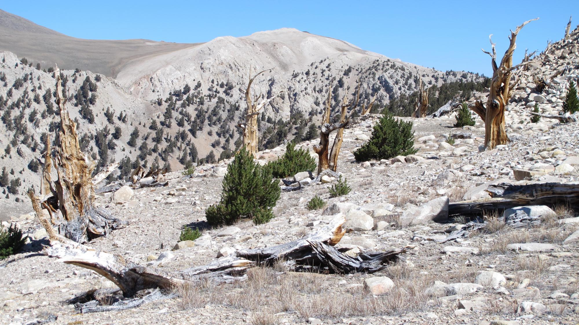 Bristlecone pine and limber pine