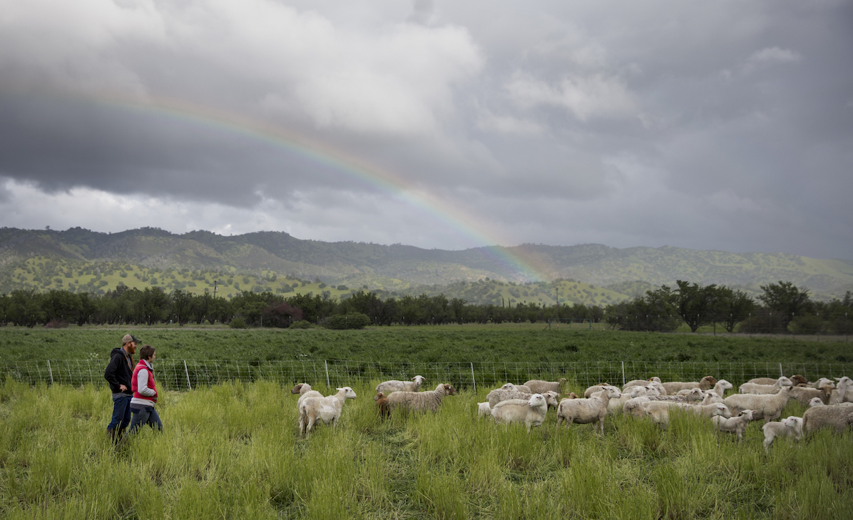 sheep ranchers in California