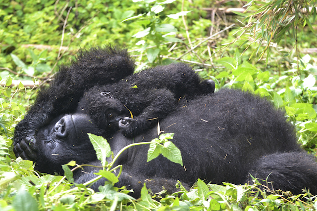 Mother mountain gorilla resting with her baby on her chest