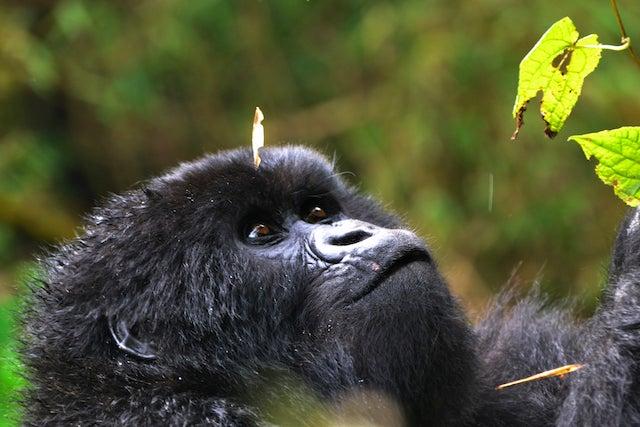 Baby Twitabweho, a mountain gorilla in Rwanda, looks at a leaf on a tree