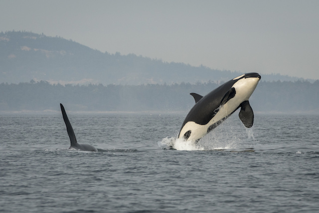 Southern resident killer whale J16 breaches with her son nearby