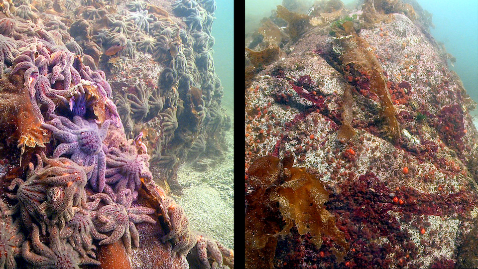 Sea stars on rock, before and after wasting disease