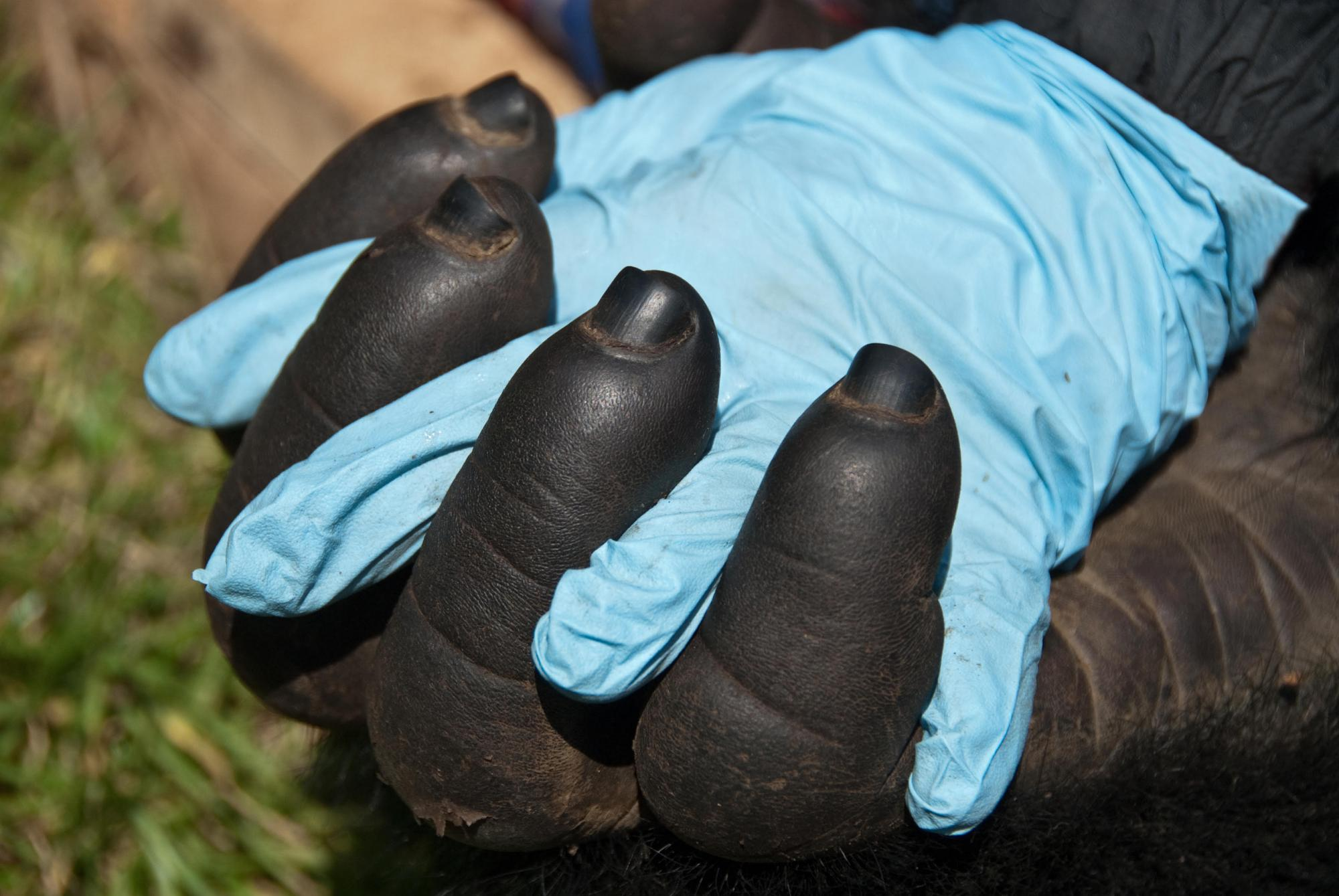 gorilla and human hand