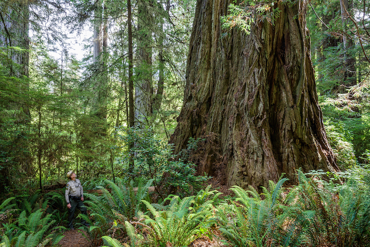 Man looks up at large coast redwood tree