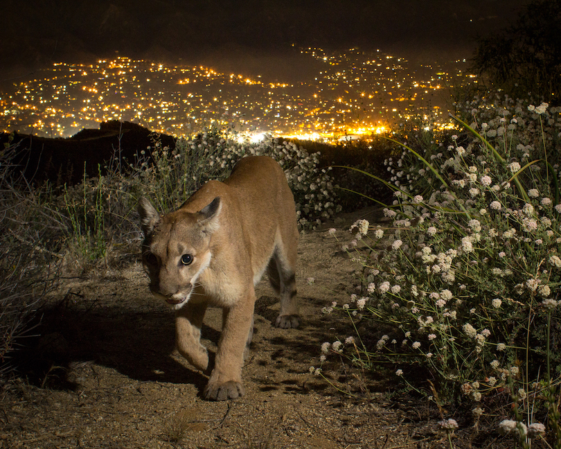 Mountain lion with city lights in background