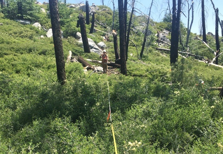 researcher investigates plant diversity within a transect line of a Sierra Nevada forest affected by drought and wildfire. (Clark Richter/UC Davis)