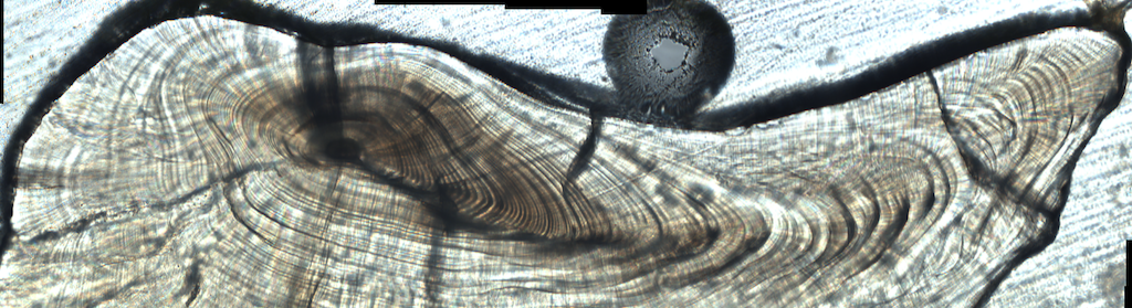 Cross section of fish otolith
