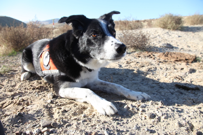 A black-and-white dog sits in the desert, alert, on the track of lizards.