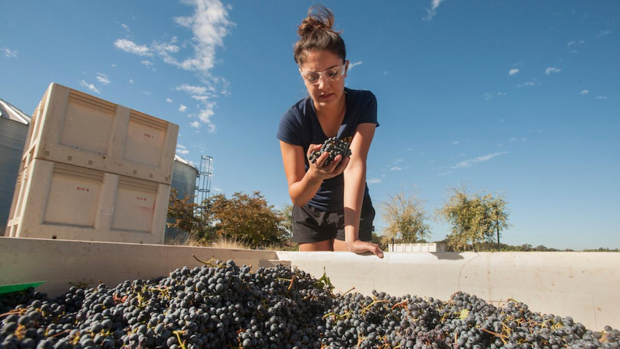 Andrea Perez, a fourth year undergradate in viticulture and enology major, inspects caberent sauvignon grapes.