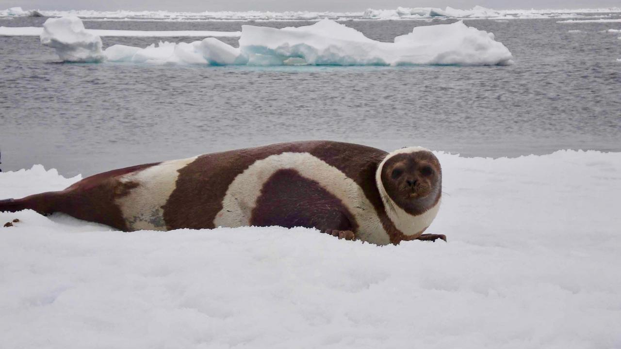 Adult male ribbon seal laying on ice