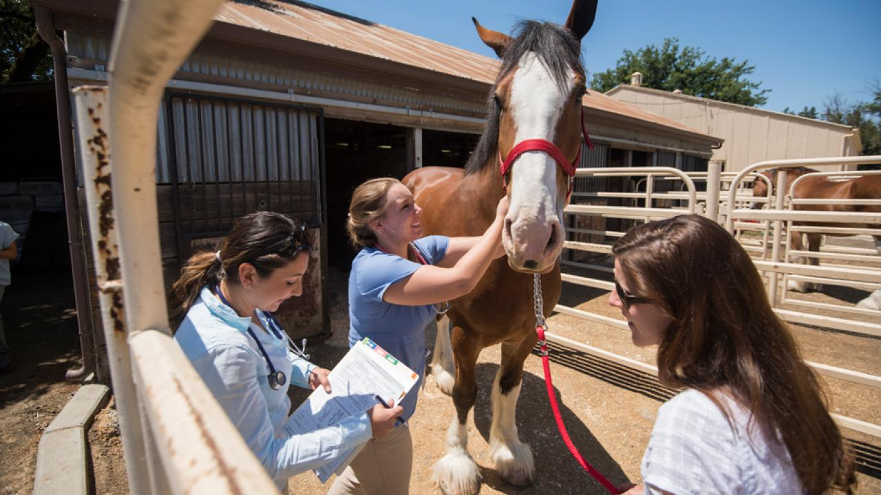 Veterinary team examines Clydesdale horse.