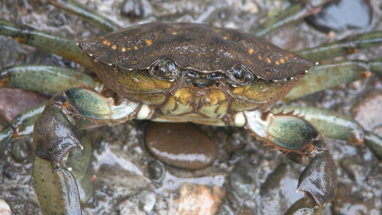 close up of European green crab