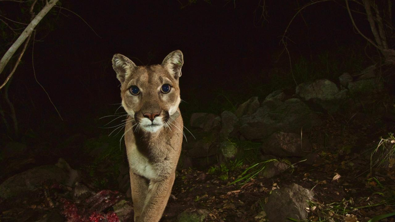 Female mountain lion